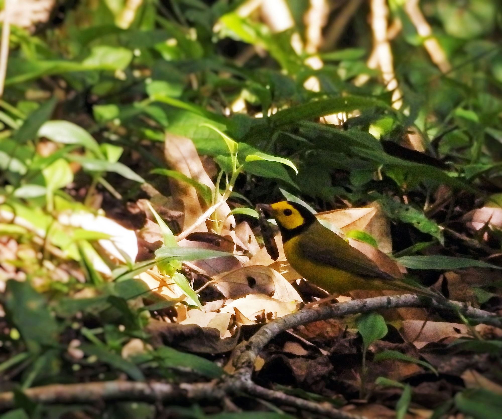 small yellow bird on forest floor with grub in its beak