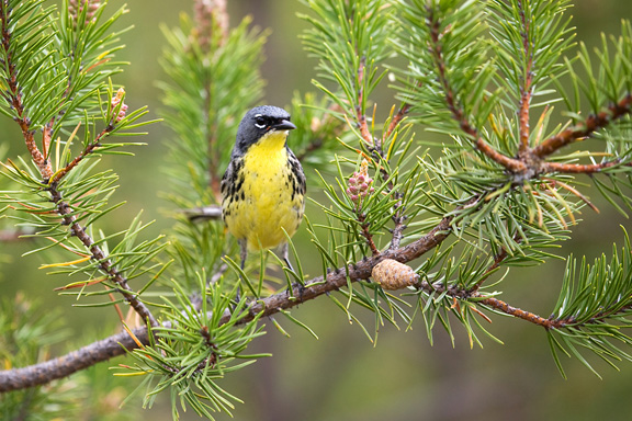 Kirtland's warbler stands on branch