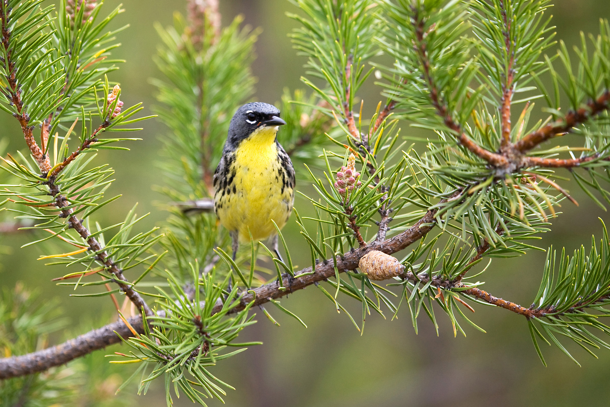 A Kirtland's warbler songbird standing on a tree branch