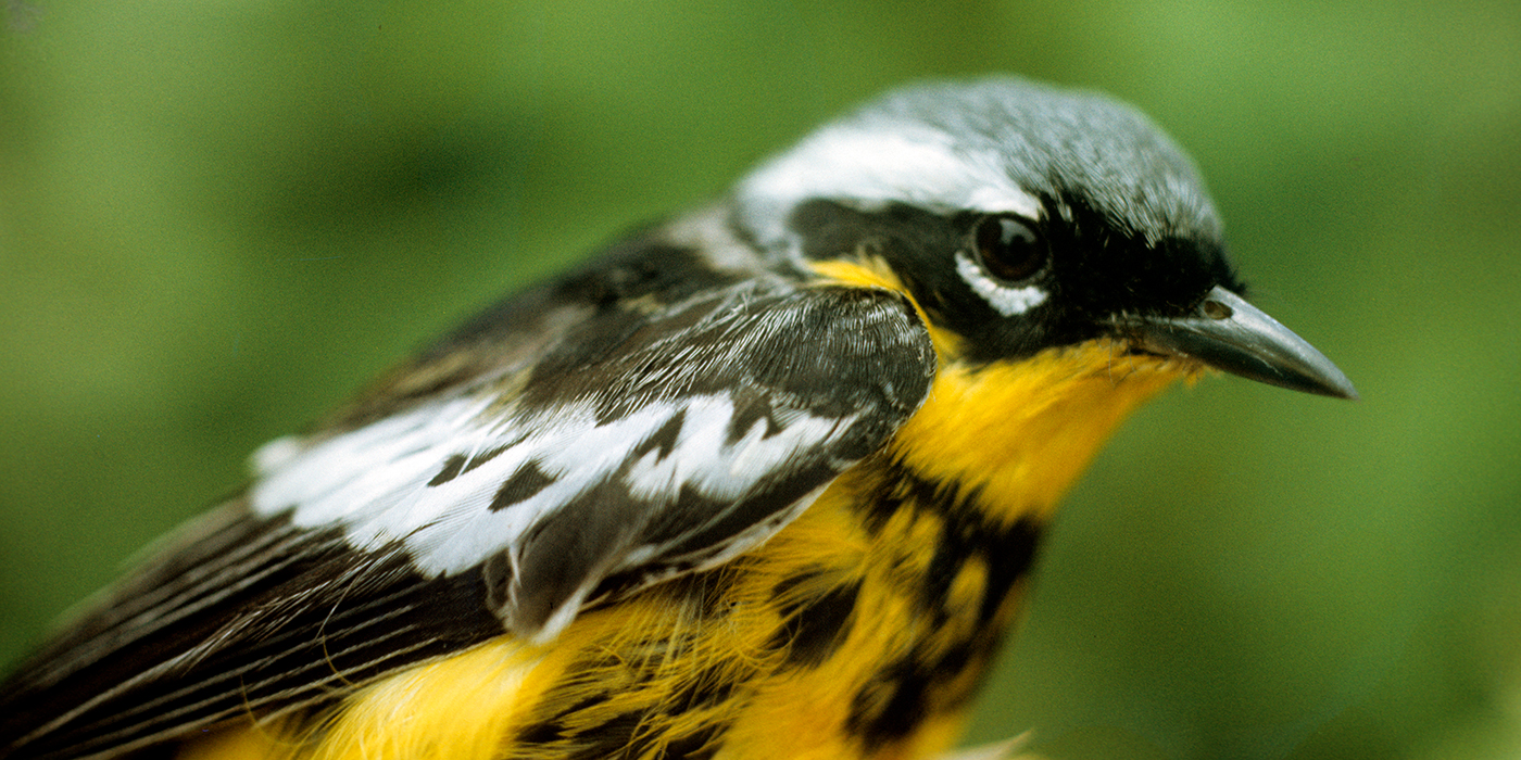 A magnolia warbler, a black and yellow songbird