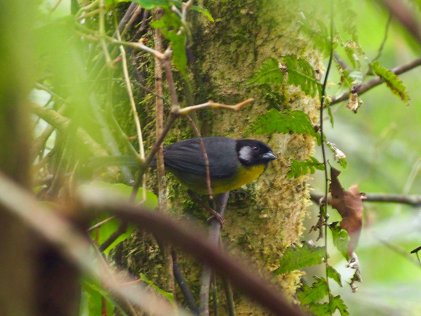 songbird with pale cheek patch on a dark face