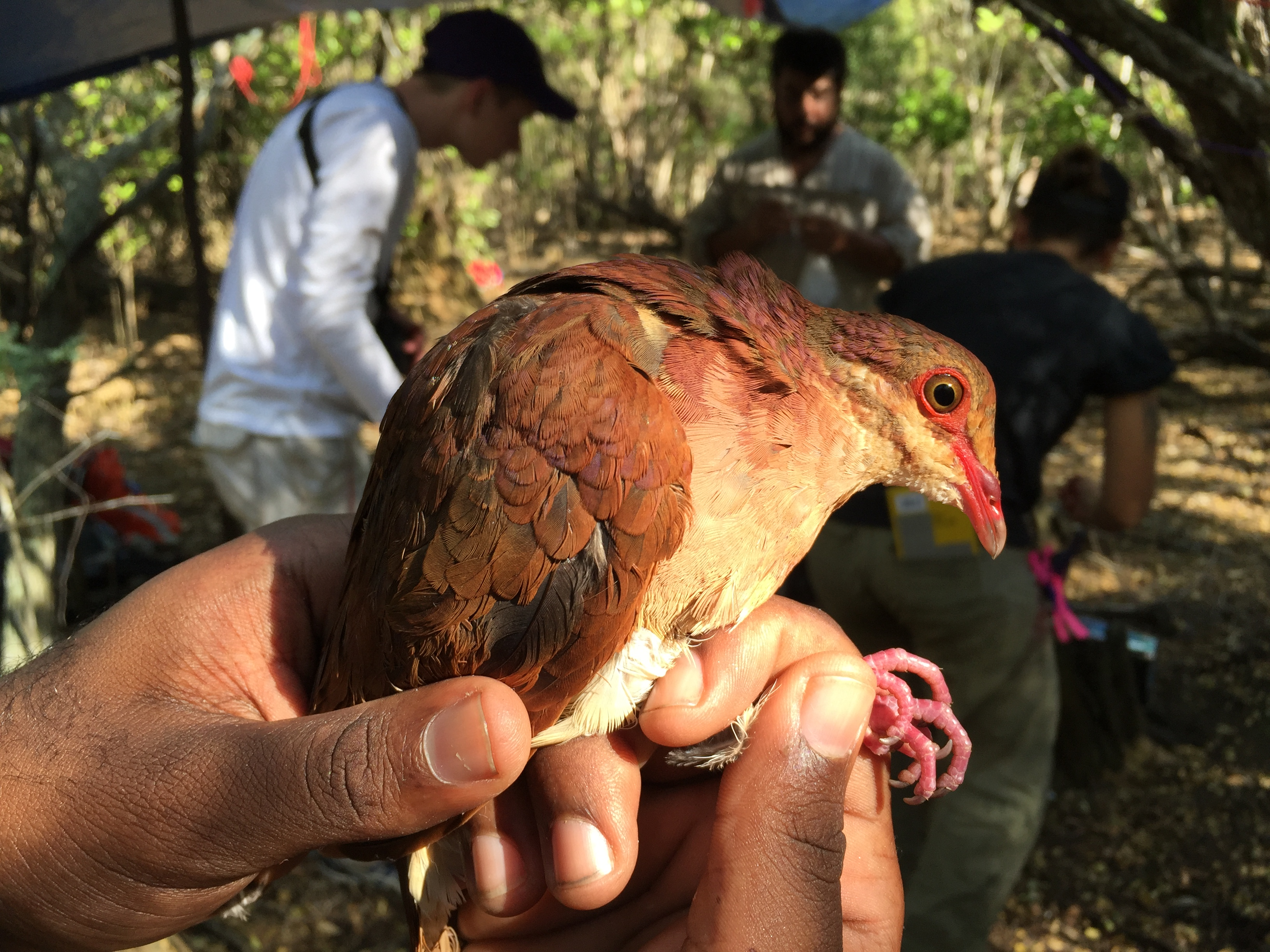 A ruddy quail dove being held in someone's hand