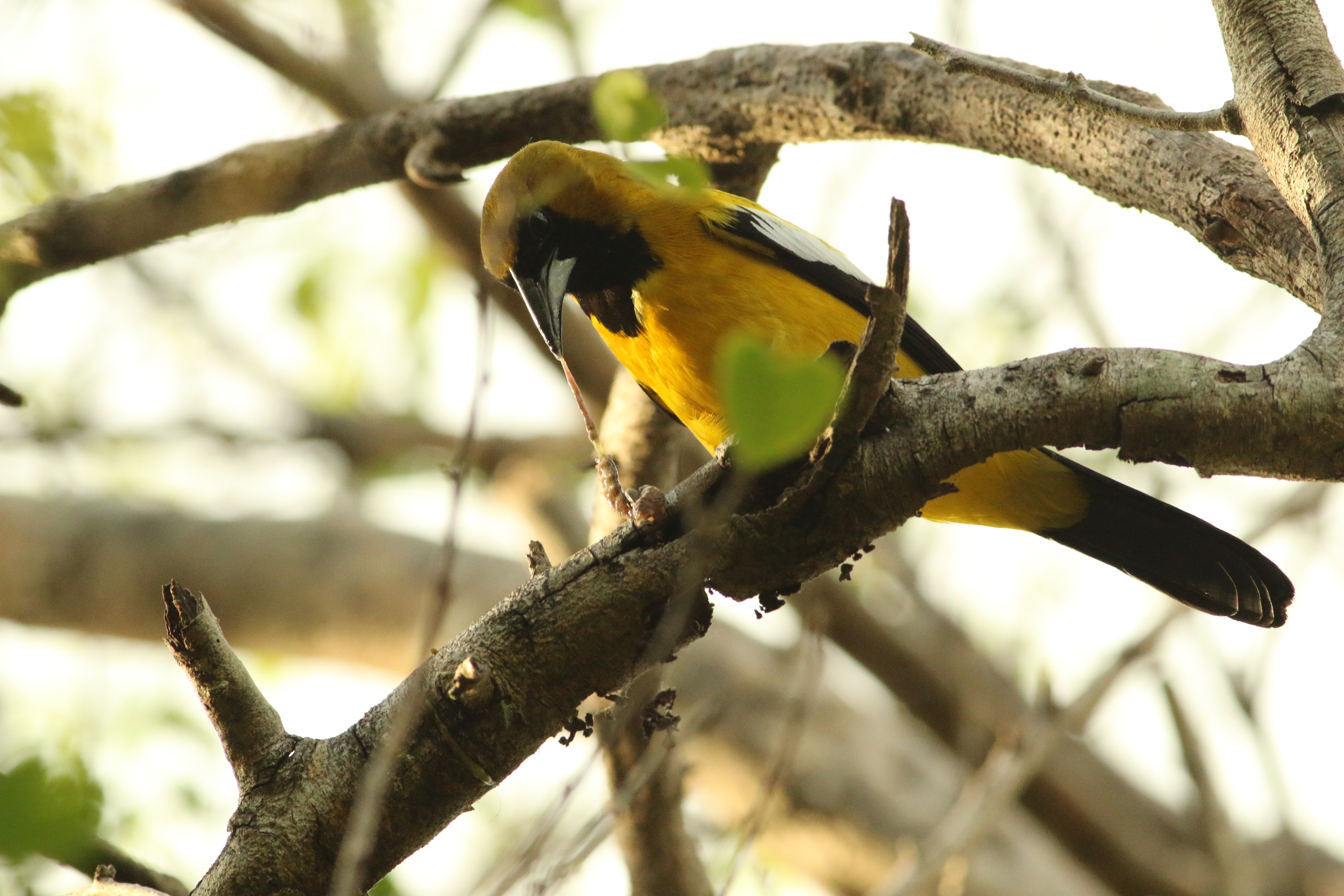 A Jamaican oriole perched on a branch