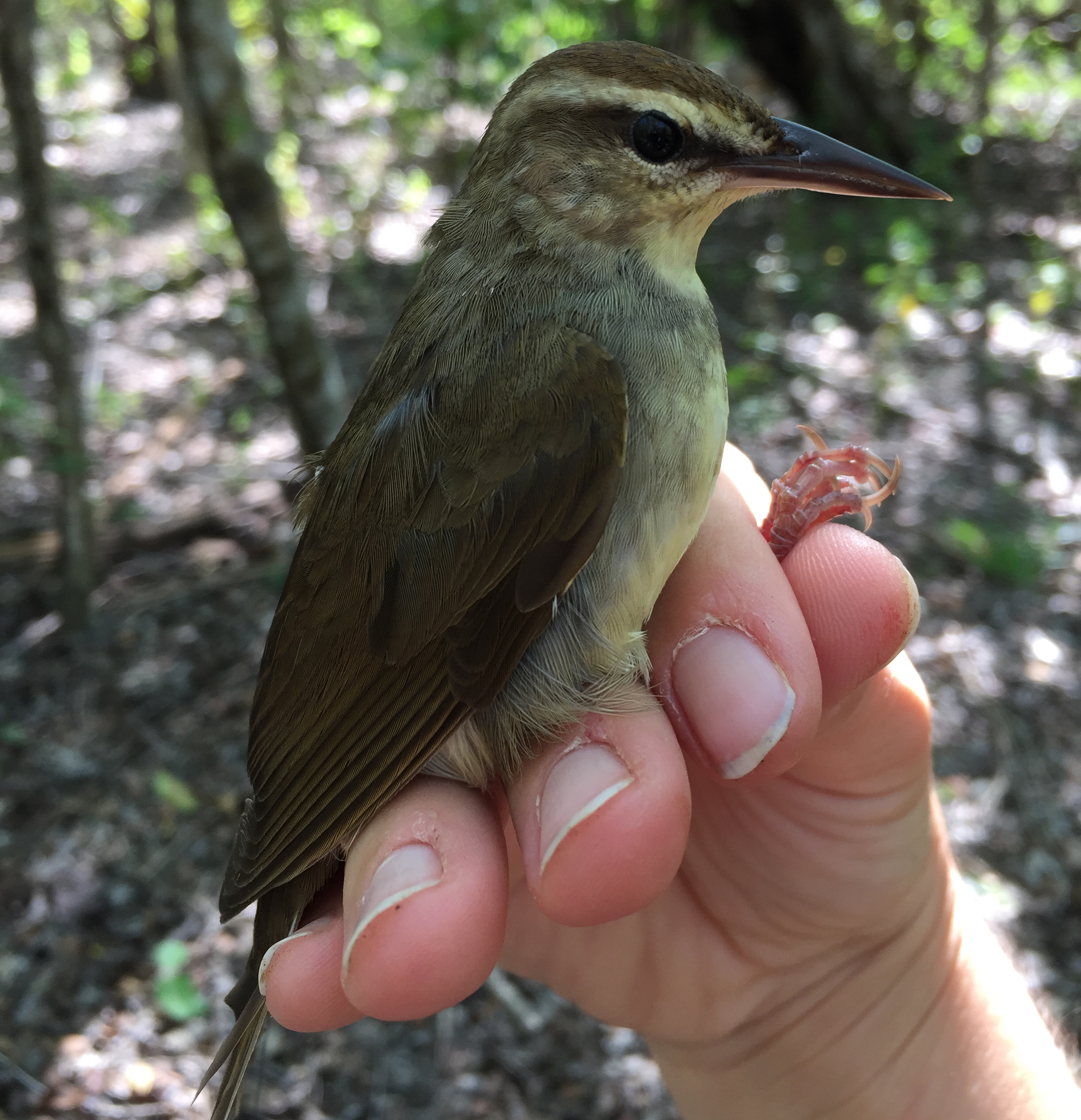 Swainson's warbler bird in someone's hand