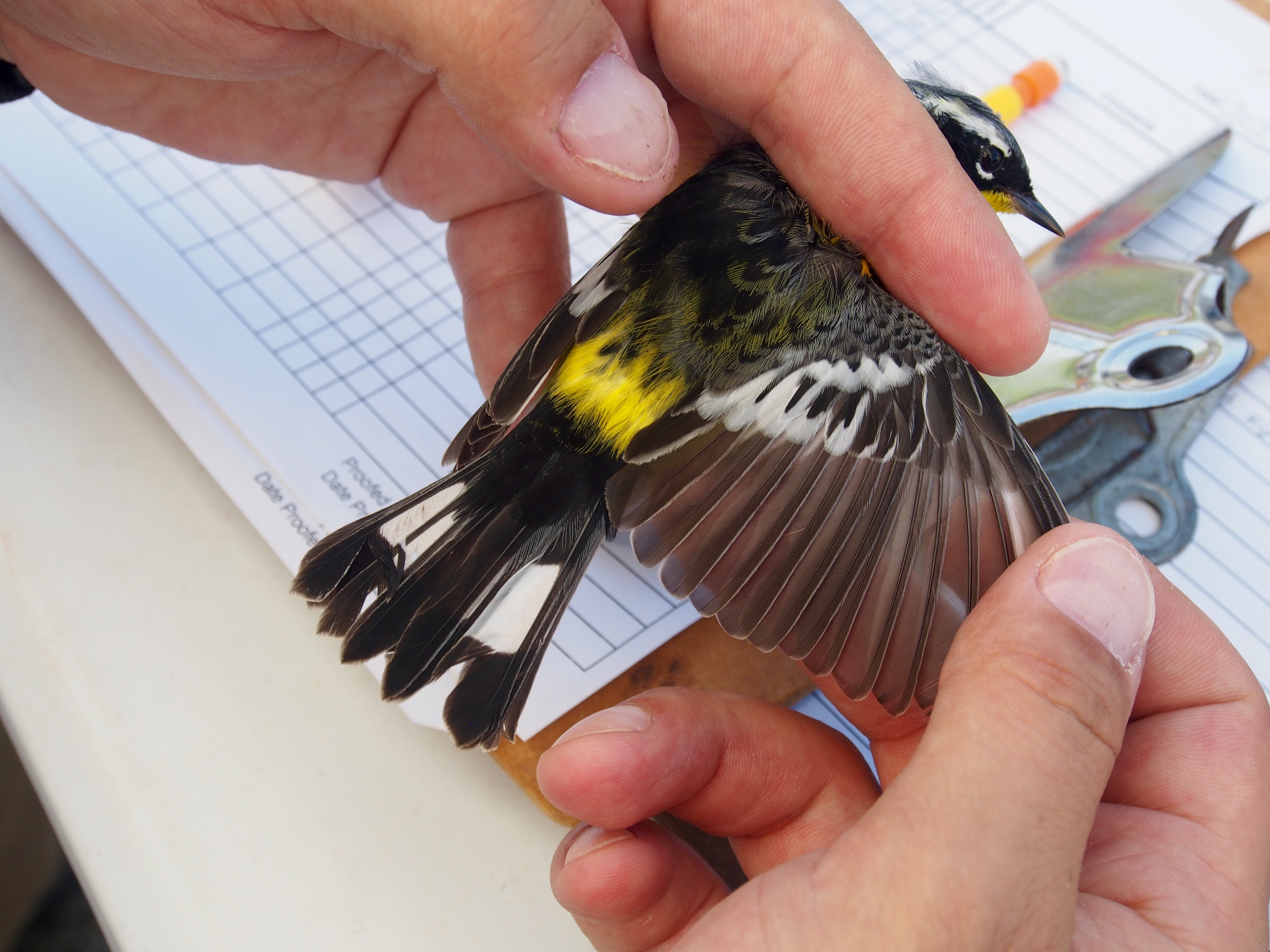 A scientist determines the age of a bird by examining its feathers