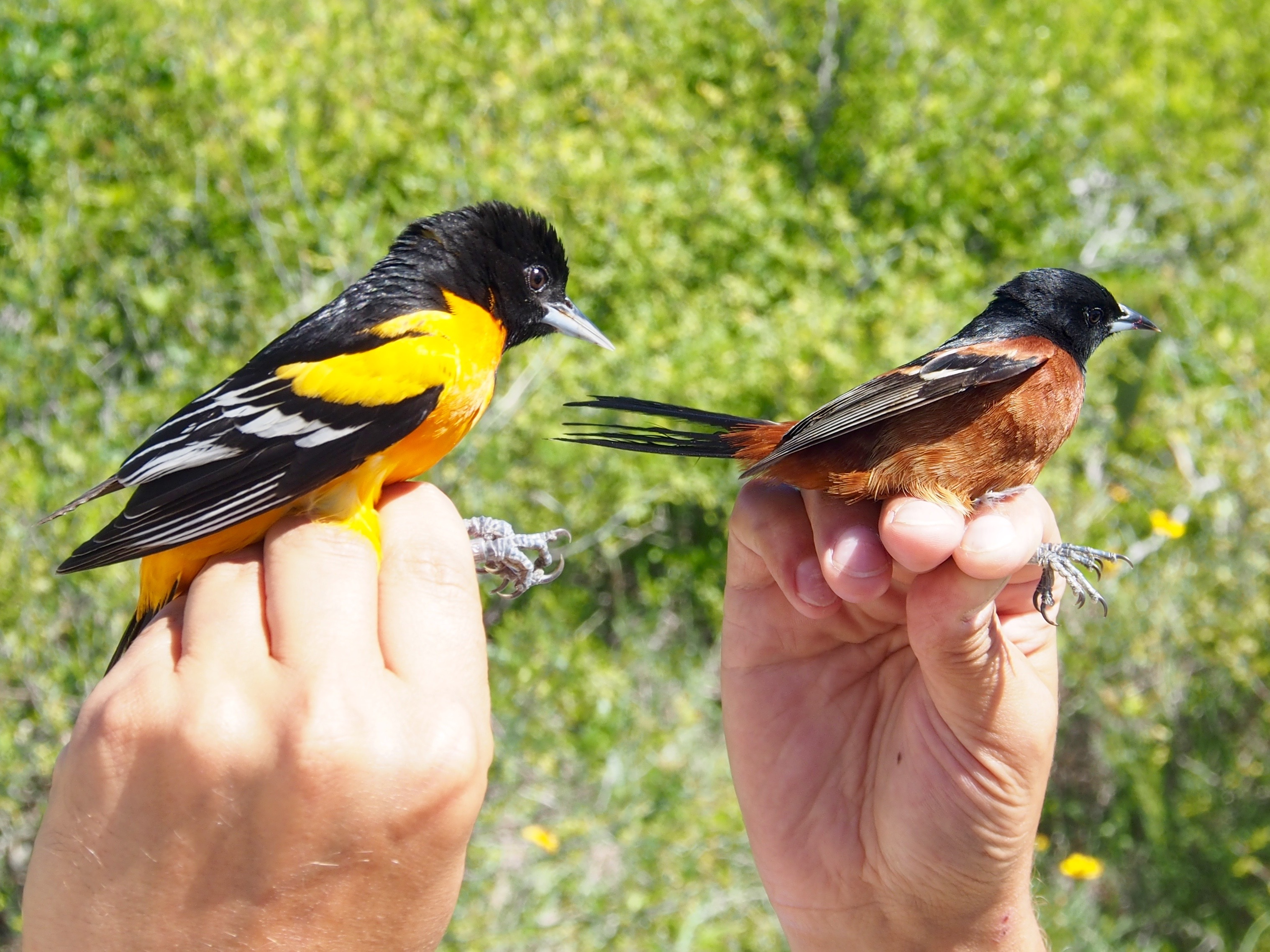 A Baltimore oriole and an orchard oriole in the hands of scientists