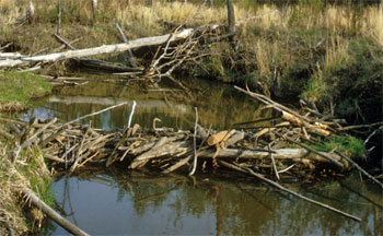 dam of logs and sticks across a stream