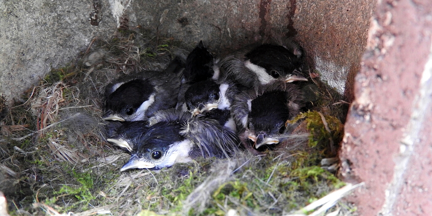 baby birds in nest box