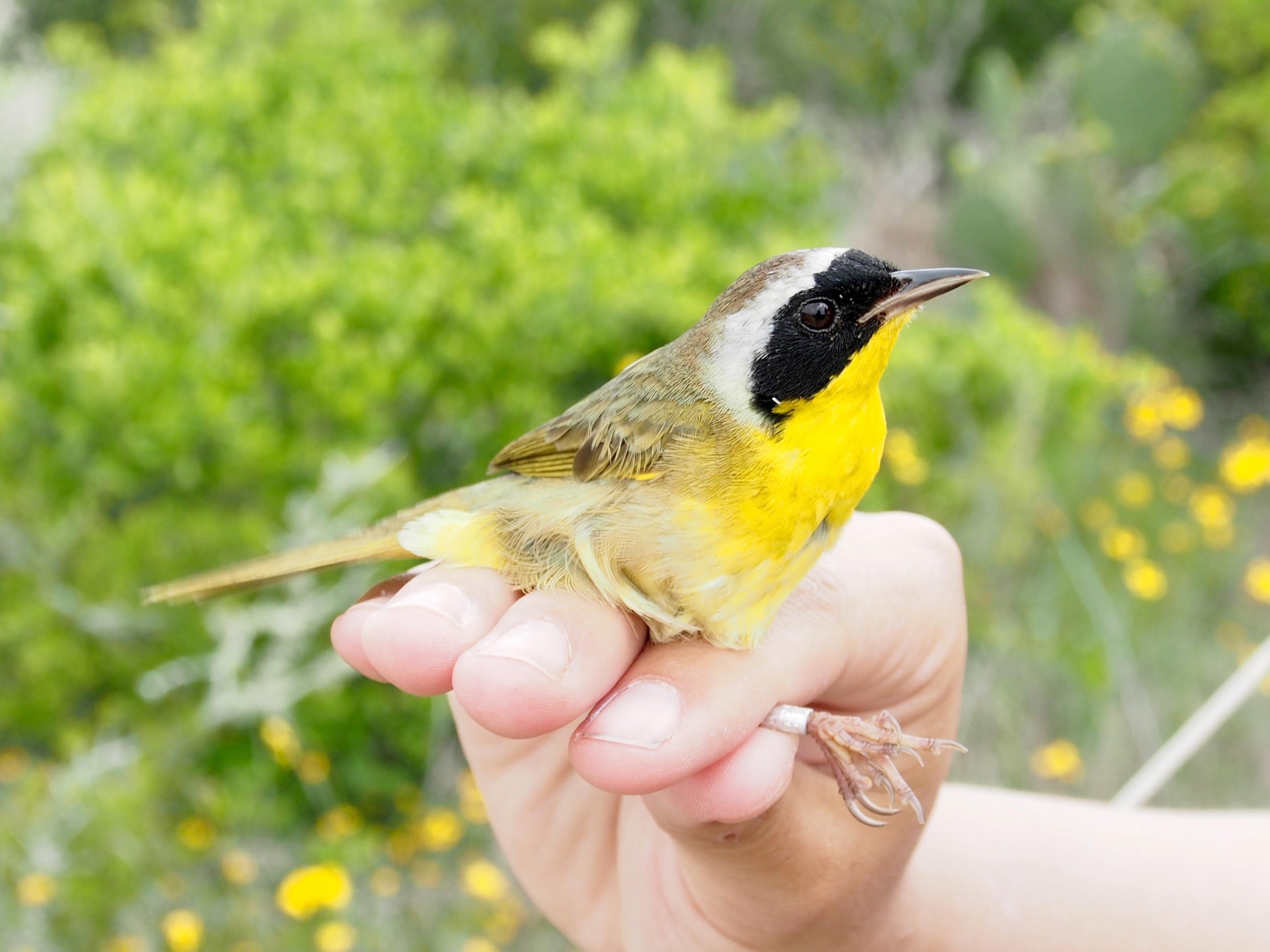 A common yellowthroat songbird in someone's hand