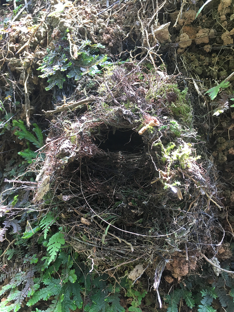 Dome-shaped bird nest made of mosses and vegetation