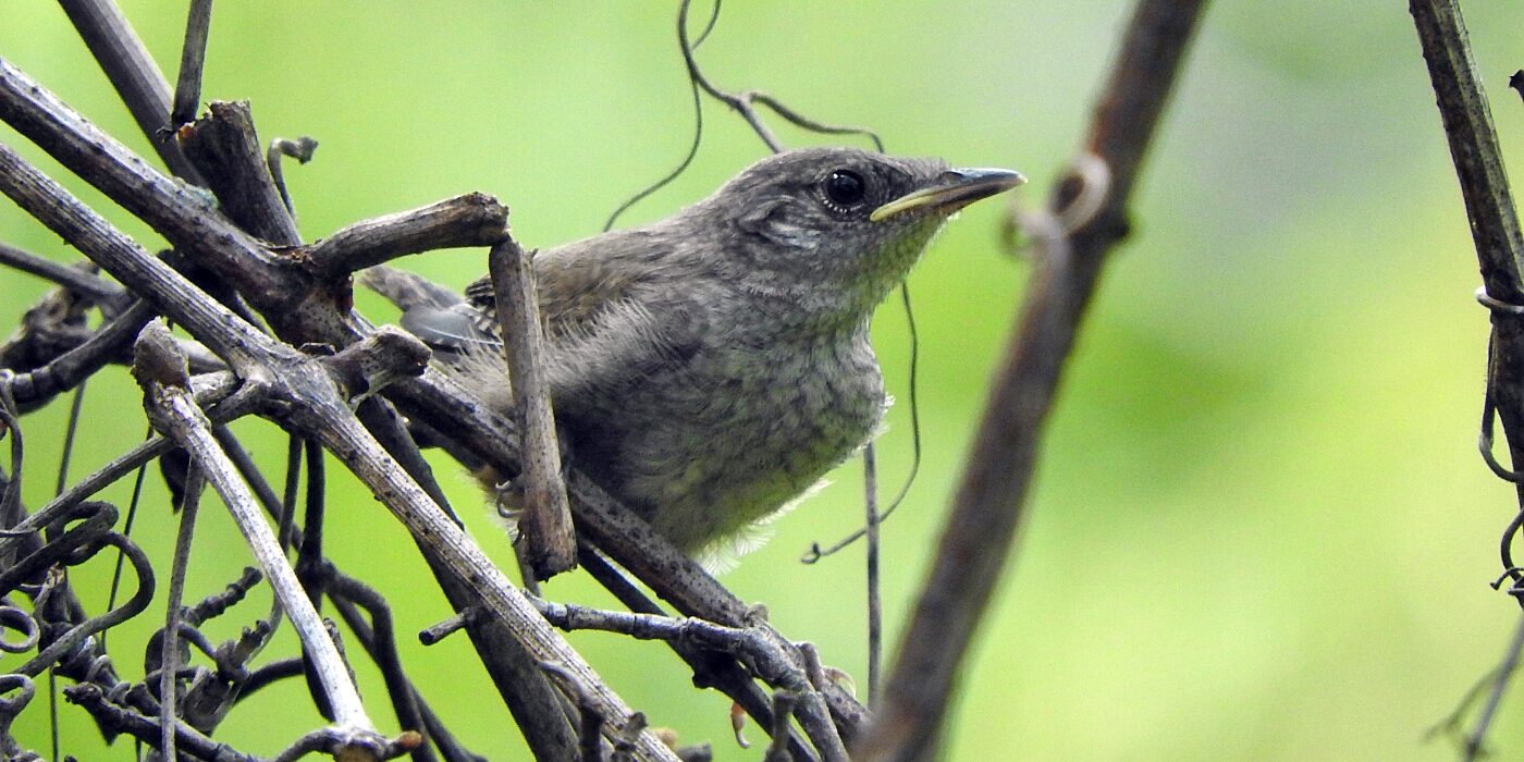 young wren in a tangle of vines