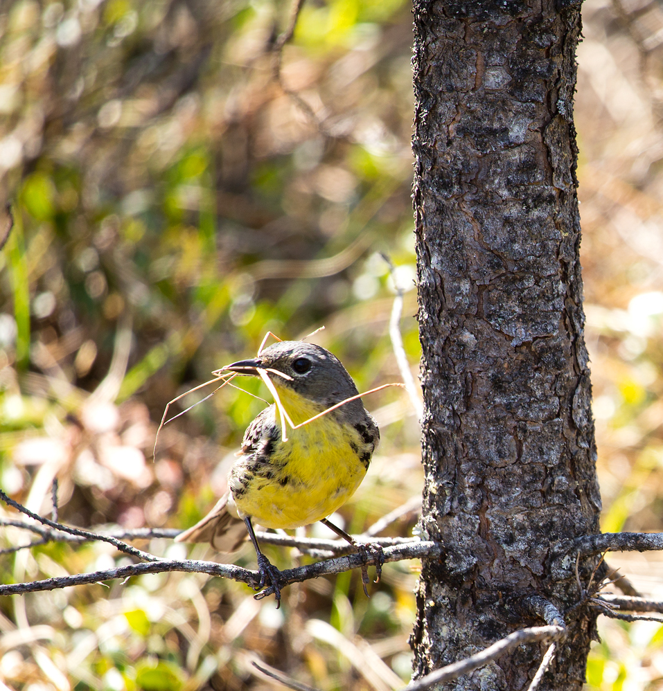 A female Kirtland's warbler bird sits on a branch with a twig in her mouth