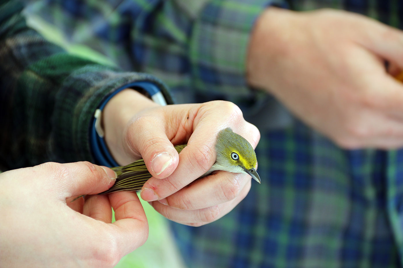 bird with pale eye being banded