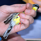 Handheld Kirtland's Warbler, red and white color bands are visible on its legs