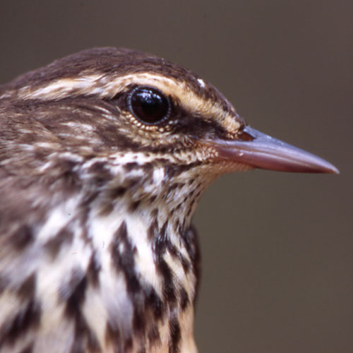 closeup of a small bird with a skinny beak