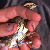 [Hand held northern waterthrush with blue and purple colored plastic bands being put on its legs]