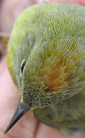 top of small yellow bird's head showing orange crown