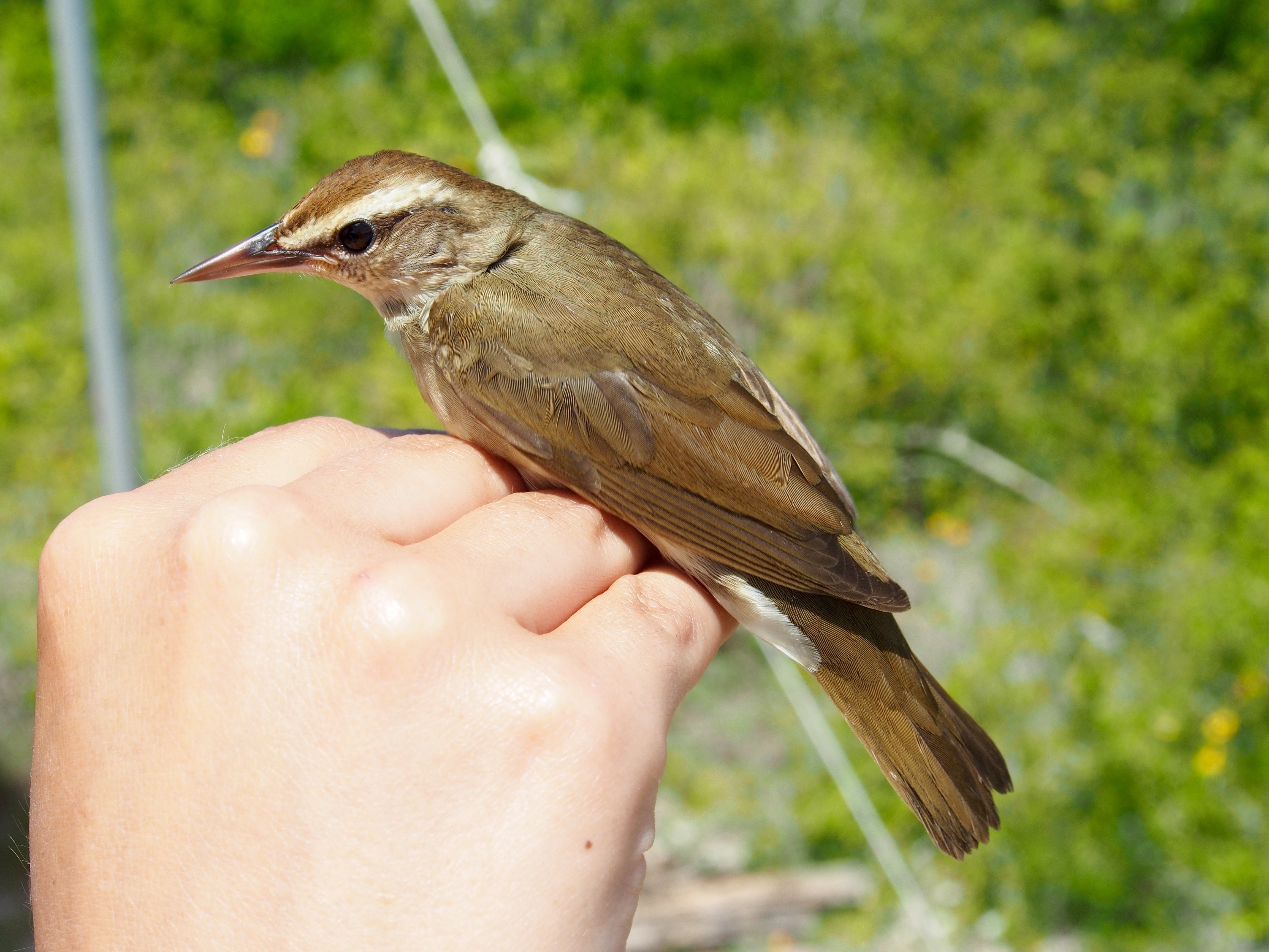 A Swainson's warbler perched on a person's hand