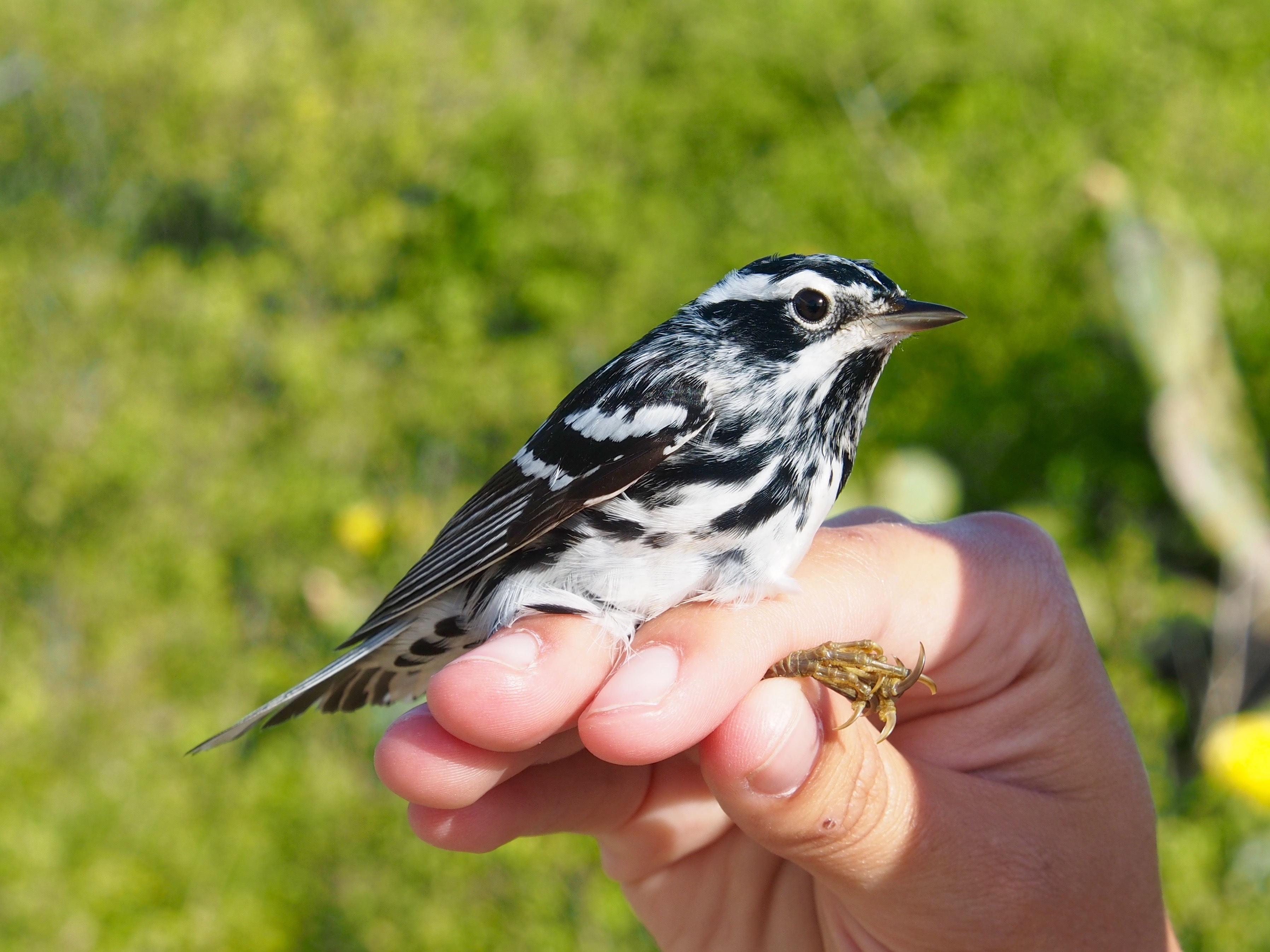 A black and white warbler perches on someone's hand