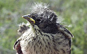 young sparrow with fluffy plumage and streaked breast