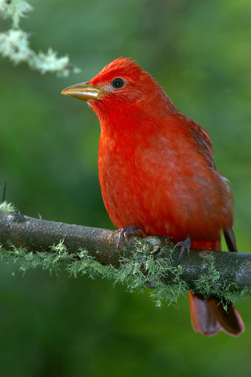 brightly-colored male summer tanager on a branch
