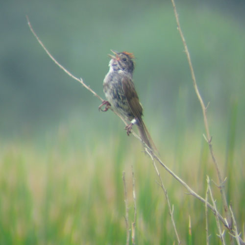 Male swamp sparrow singing from snag.