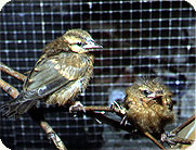 Young brown bird in aviary
