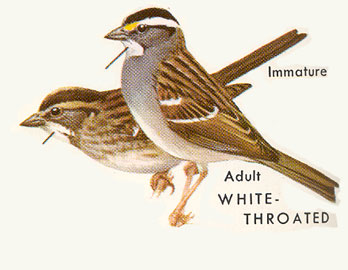 Painting showing white and tan striped morphs of the white-throated sparrow