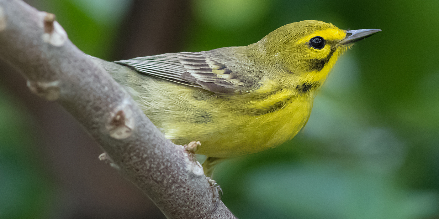 A yellow and gray songbird, called a prairie warbler, perched on a tree branch