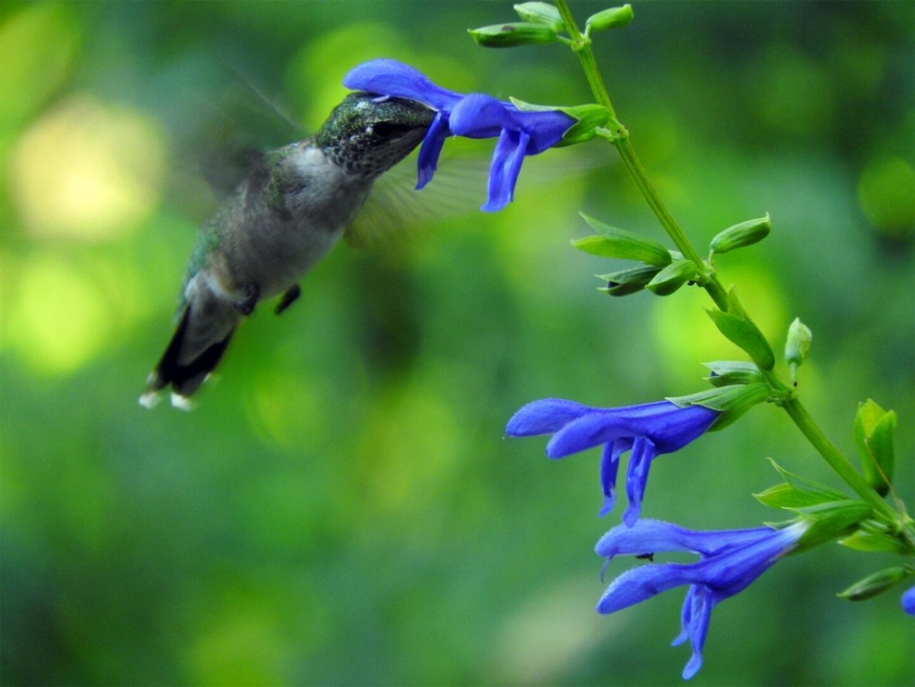 hummingbirds smithsonian u0027s national zoo