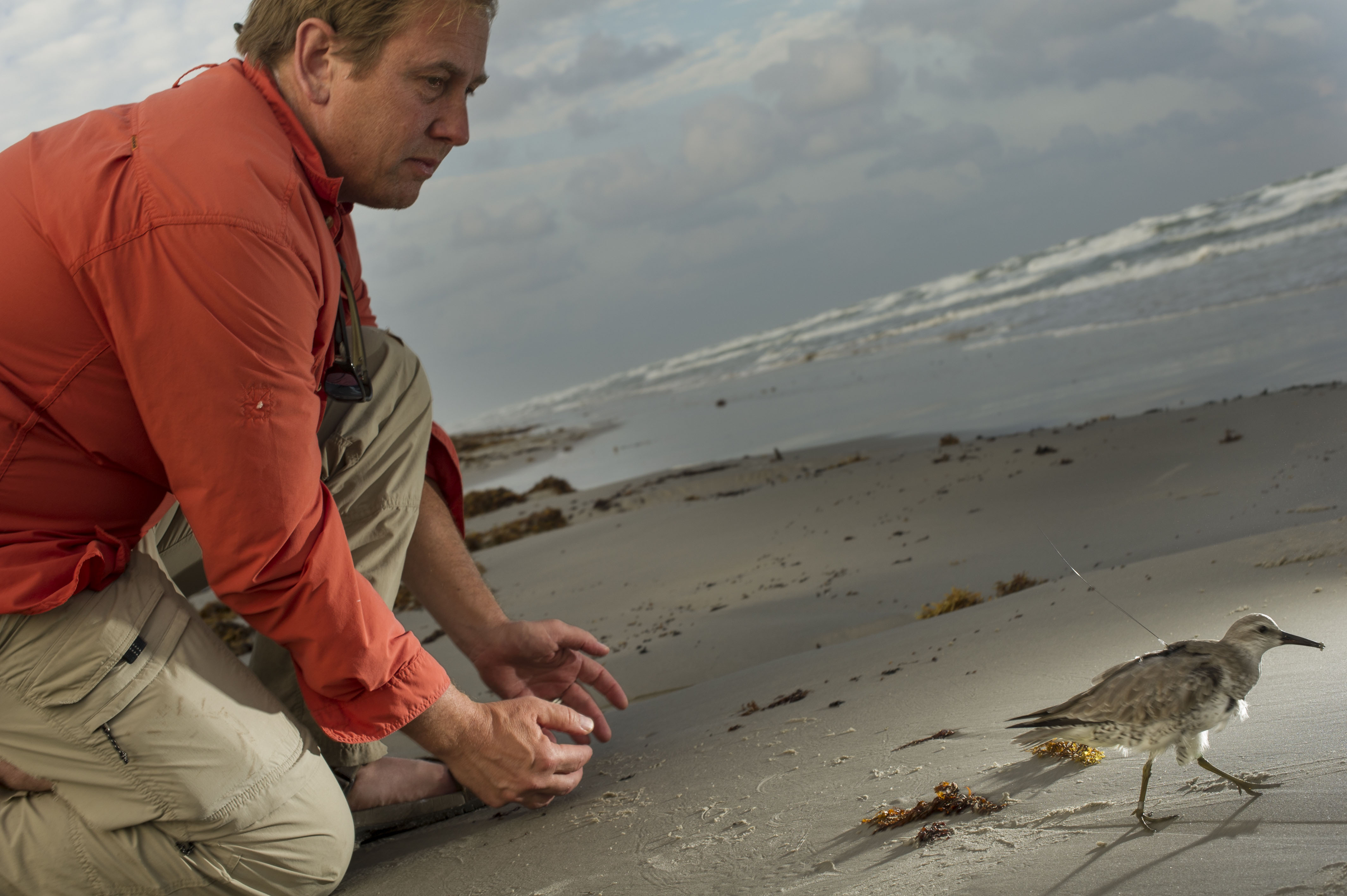 Smithsonian Migratory Bird Center director Pete Marra kneels on a beach after releasing a tagged bird that walks in front of him