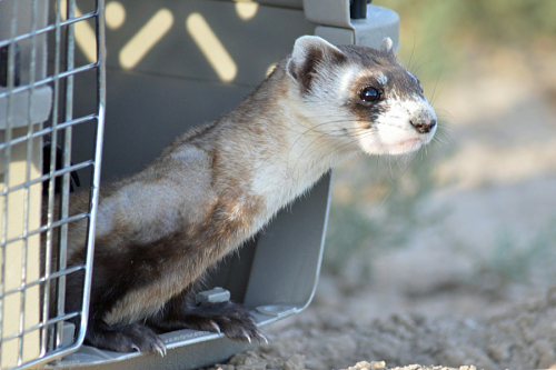 black footed ferret peeks out of open door of carrier at release time