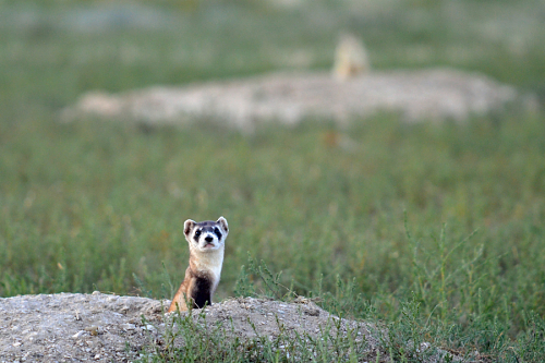 black footed ferret after release in field