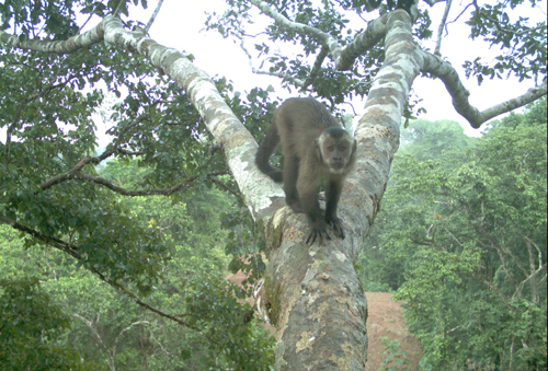 Brown capuchin monkey caught by the camera