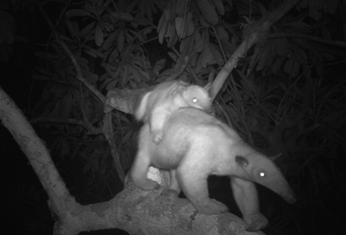 Southern tamandua caught by the camera with her baby on her back