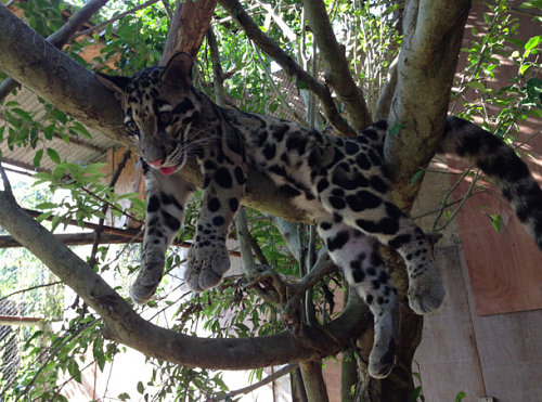 Clouded Leopard cub in a tree