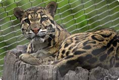 clouded leopard in enclosure