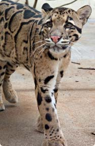 clouded leopard walks