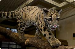 clouded leopard walks on branch