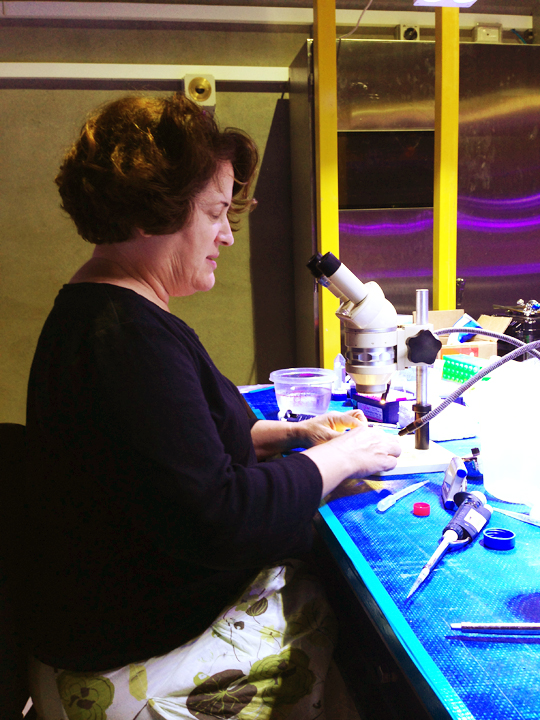 Mary Hagedorn examines coral embryos that were fertilized with cryopreserved sperm.