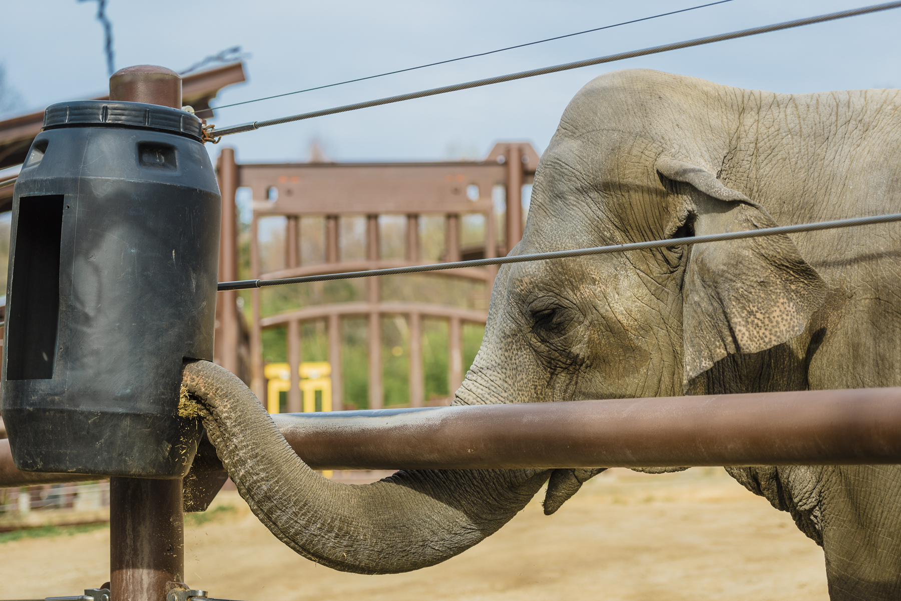 elephant grabbing food out of an puzzle feeder with its trunk