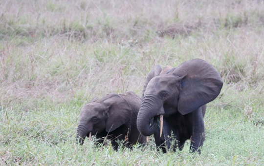 elephants in Gabon, a female and young elephant