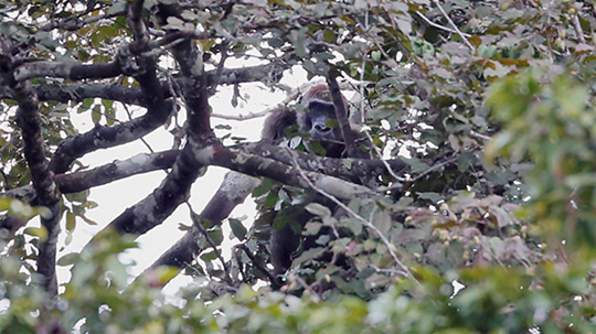 female gorilla building her nest in a tree
