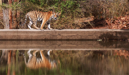 tiger with reflection in pool