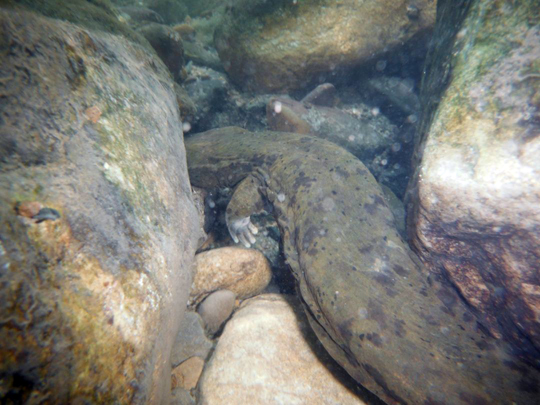 Hellbender swimming away. Photo courtesy of Jeff Storey