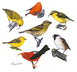 honeycreeper and other bird illustrated
