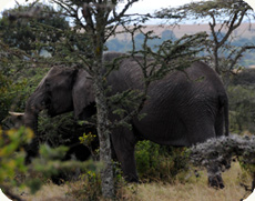 elephant in bush