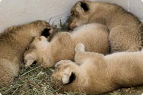 Shera's cubs at two weeks old