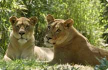 Shera and Nababiep, the Zoo's two female lions.