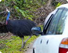 cassowary and cars